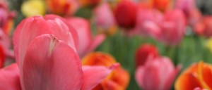 tulips about